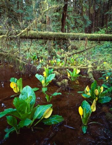 オリンピック雨林「Skunk cabbage growing along edge of rainforest」:スマホ壁紙(5)