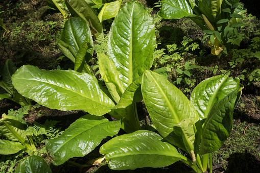 葉・植物「Skunk cabbage near Juneau Alaska」:スマホ壁紙(5)