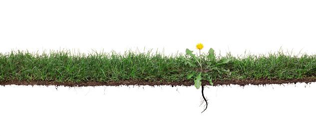 たんぽぽ「たんぽぽ海草の草、根」:スマホ壁紙(5)