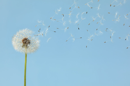 たんぽぽ「Dandelion with flying seeds」:スマホ壁紙(13)