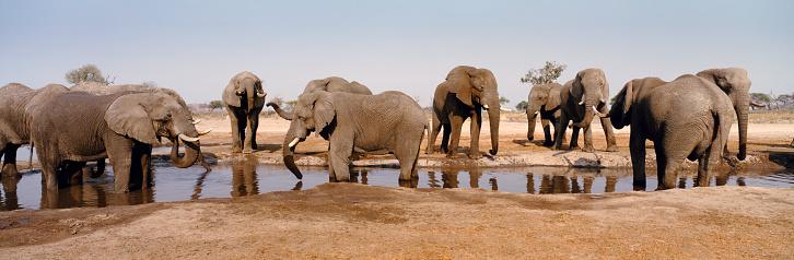 Poaching - Animal Welfare「Panorama view of a herd of African elephants around a savannah water hole. Loxodonta africana」:スマホ壁紙(9)