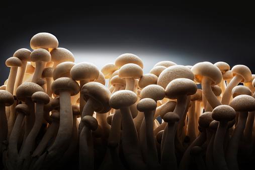 ヒラタケ「Shimeji  Mushroom close up」:スマホ壁紙(13)