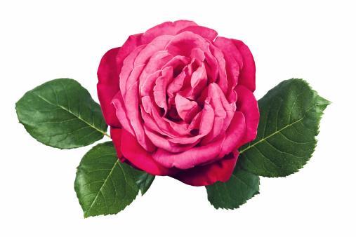花「ピンクローズと葉」:スマホ壁紙(1)