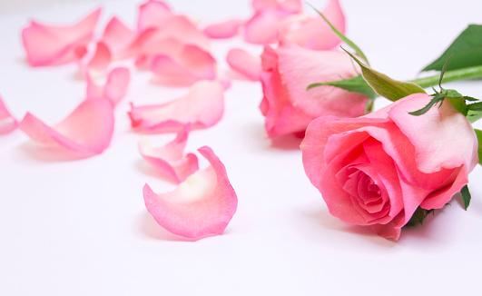 薔薇「ピンクのバラの花びら」:スマホ壁紙(2)