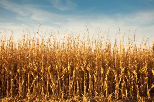 newoutdoors「Corn, Ready for Harvest」:スマホ壁紙(15)