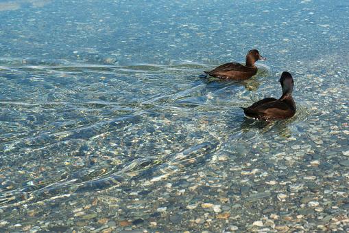 透明「Pair of black ducks on Lake Wakatipu at Wilson Bay.」:スマホ壁紙(14)