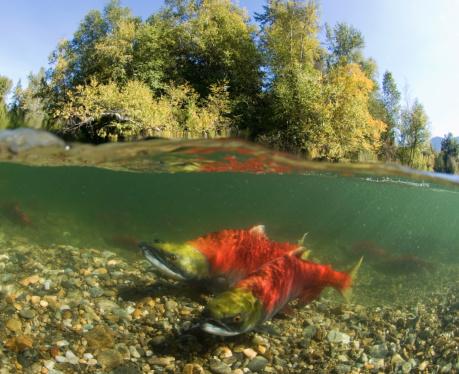 アダムズ川「Canada, British Columbia, Adams River, spawning sockeye salmons (Oncorhynchus nerka), surface view」:スマホ壁紙(15)