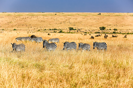 Eco Tourism「Zebras - watching and feeding」:スマホ壁紙(18)