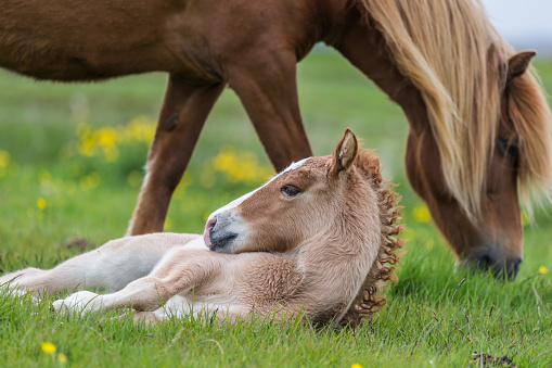Horse「Mare and new born foal, Iceland」:スマホ壁紙(10)