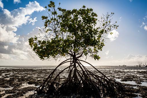 インド洋「Roots of a mangrove exposed in low tide, Quirimba Island, Quirimbas National Park」:スマホ壁紙(12)