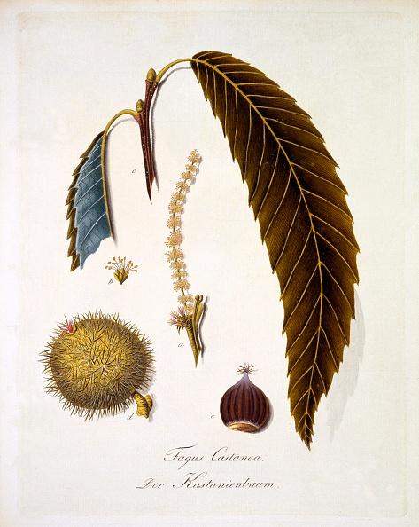 Beech Tree「Fagus Castanea」:写真・画像(9)[壁紙.com]