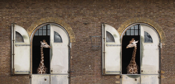 Giraffe「London Zoo Staff Conduct Their Annual Weigh In For the Animals」:写真・画像(10)[壁紙.com]
