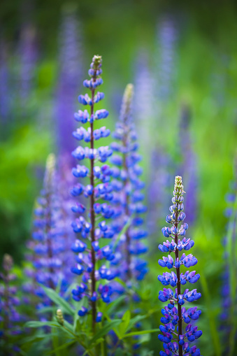 Joffre Lakes Provincial Park「Wild lupins growing in a rural area」:スマホ壁紙(7)