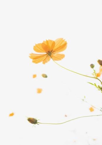 コスモス「Yellow cosmos」:スマホ壁紙(10)