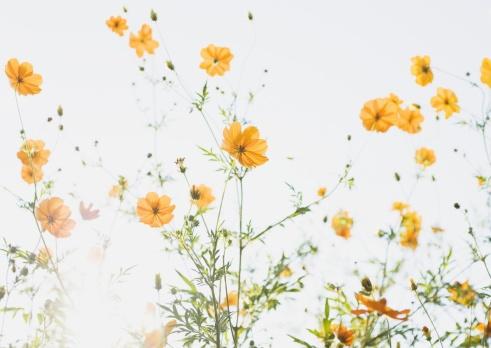 コスモス「Yellow cosmos」:スマホ壁紙(18)