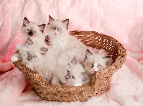 子猫「A group of rag doll kittens in a basket」:スマホ壁紙(14)