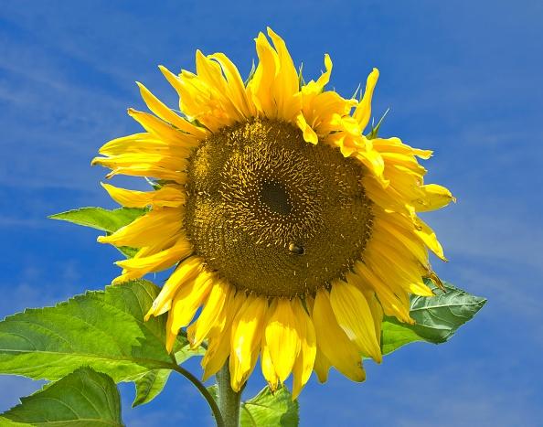 ひまわり「Sunflower On The Upper Terrace At Osborne」:写真・画像(8)[壁紙.com]