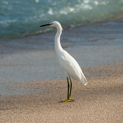 Sayulita「A white bird standing on the sand at the water's edge; sayulita mexico」:スマホ壁紙(0)