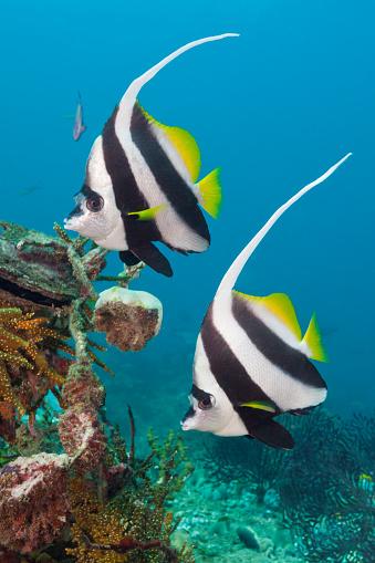 Arafura Sea「Pair of Longfin Bannerfish, Indonesia」:スマホ壁紙(13)