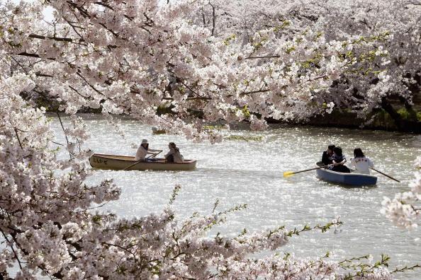 桜「Crowds Attend The Hirosaki Cherry Blossom Festival」:写真・画像(19)[壁紙.com]