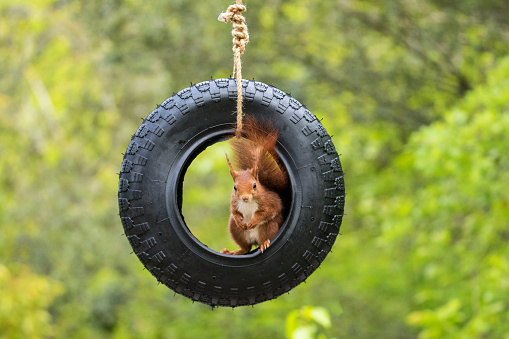 リス「Squirrel sitting on a tyre swing, Artica, Navarra, Spain」:スマホ壁紙(10)