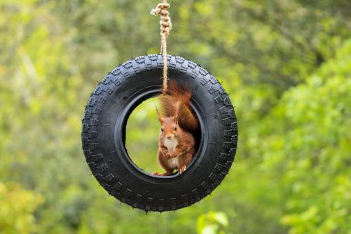リス「Squirrel sitting on a tyre swing, Artica, Navarra, Spain」:スマホ壁紙(16)
