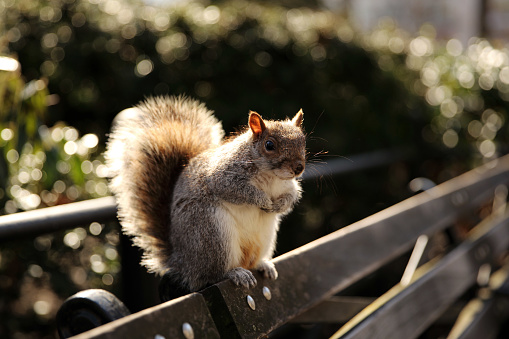 リス「Squirrel sitting on a bench, Union Square Park, Manhattan, New York, America, USA」:スマホ壁紙(3)