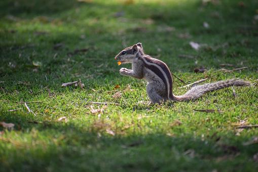 Squirrel「Squirrel sitting on grass eating, India」:スマホ壁紙(9)