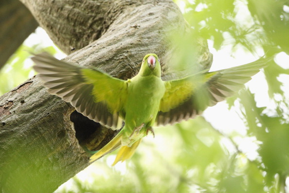 鳥「Boom In Numbers Of British Parakeets」:写真・画像(17)[壁紙.com]