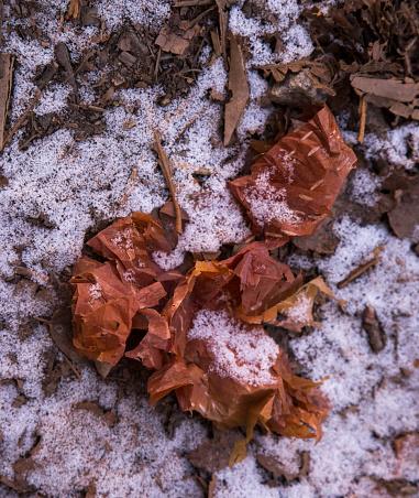 Khumbu「Betula utilis Himalayan Birch bark on the ground in snow near Dhole, Everest Base Camp Trek, Nepal」:スマホ壁紙(1)