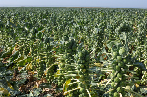 Cabbage「Deleafed Brussels Sprouts Plants」:スマホ壁紙(15)