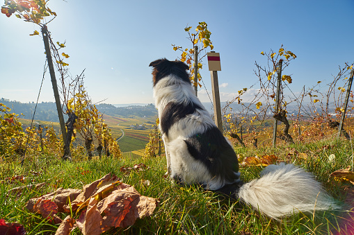 Stuttgart「Cute dog in the Vineyard」:スマホ壁紙(4)