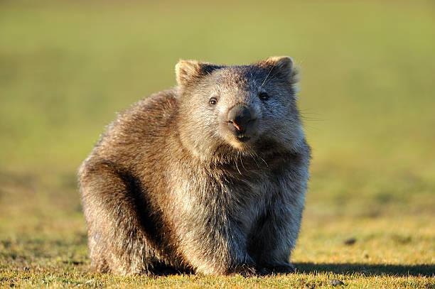 Wombat:スマホ壁紙(壁紙.com)