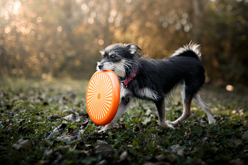 Animal Tricks「Dog playing with frisbee disc」:スマホ壁紙(14)