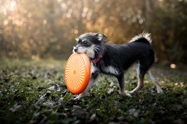 Dog playing with frisbee disc:スマホ壁紙(壁紙.com)