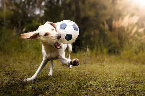 Playing「Dog playing with soccer ball」:スマホ壁紙(11)