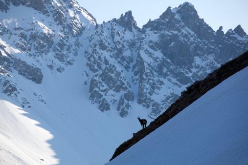 Lechtal Alps「Chamois in the European Alps, in winter」:スマホ壁紙(6)