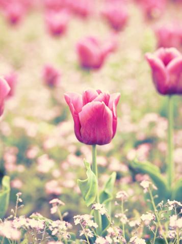 一輪の花「ビンテージカラーのチューリップフィールド」:スマホ壁紙(7)