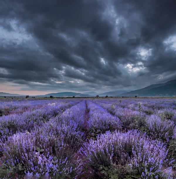 Magical Lavender nights:スマホ壁紙(壁紙.com)
