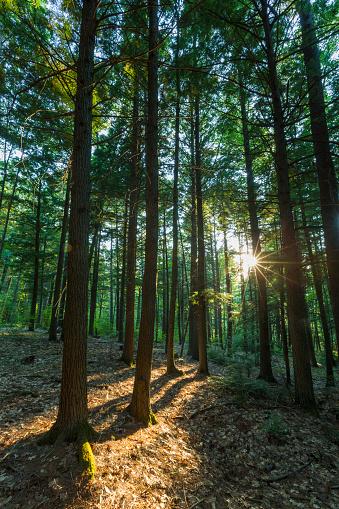 Grove「Grove of Eastern Hemlock (Tsuga canadensis), Madbury, New Hampshire, USA」:スマホ壁紙(17)