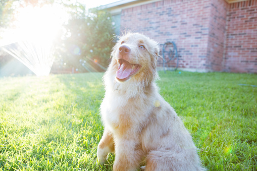 Sprinkler「Smiling dog enjoys time outdoors」:スマホ壁紙(4)