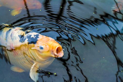 Carp「Koi, Cyprinus carpio, in a pond gasping for air」:スマホ壁紙(2)