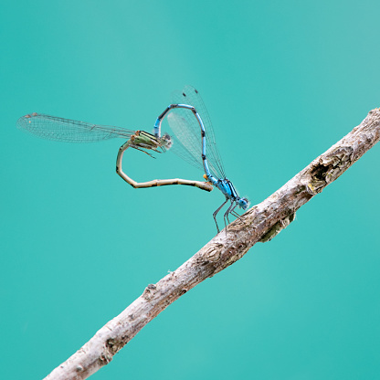 Wildlife Conservation「Dragonflies forming a Heart while Mating」:スマホ壁紙(13)