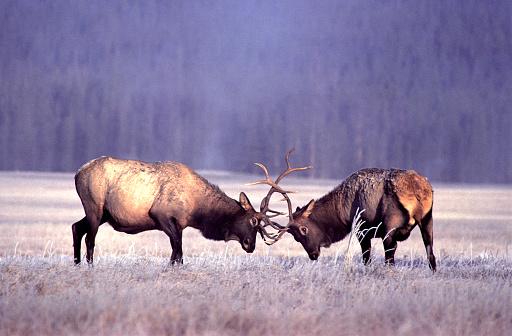 Fighting「Bull Elk Sparring」:スマホ壁紙(14)
