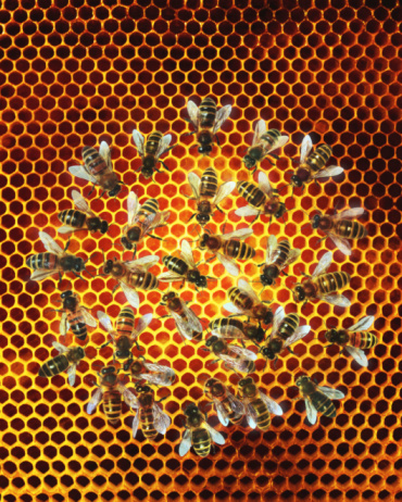 Effort「Bees (Apis mellifera) on honeycomb, overhead view (Digital Composite)」:スマホ壁紙(9)