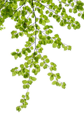 葉「Branch of European beech in front of white background」:スマホ壁紙(18)