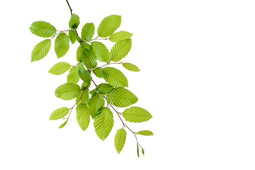 Twig「Branch of European Hornbeam with fresh foliage in spring in front of white background」:スマホ壁紙(0)