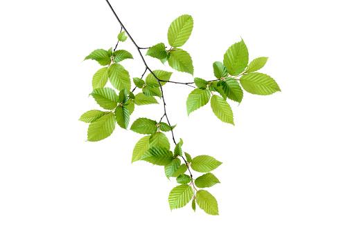 小枝「Branch of European Hornbeam (European Hornbeam / Carpinus betulus) with fresh foliage in spring, white background.」:スマホ壁紙(1)