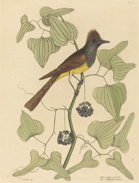 Perching「The Crested Flycatcher (Muscicapa Cristata)」:写真・画像(17)[壁紙.com]
