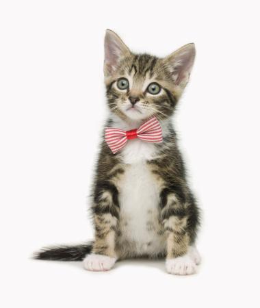 Kitten「Serious kitten wearing a bow tie」:スマホ壁紙(1)